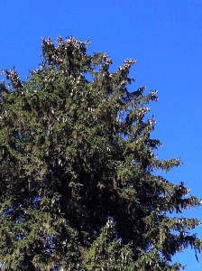Norway-Spruce-Fall-2014